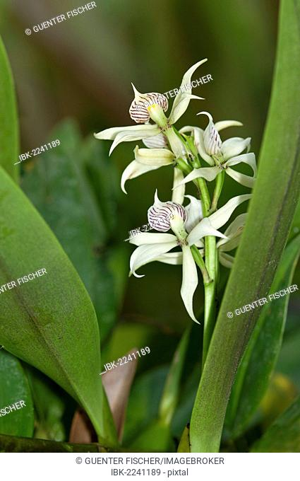 Tropical Clamshell Orchid (Epidendrum cochleatum) with shell-shaped lip, in habitat, Tiputini rainforest, Yasuni National Park, Ecuador, South America