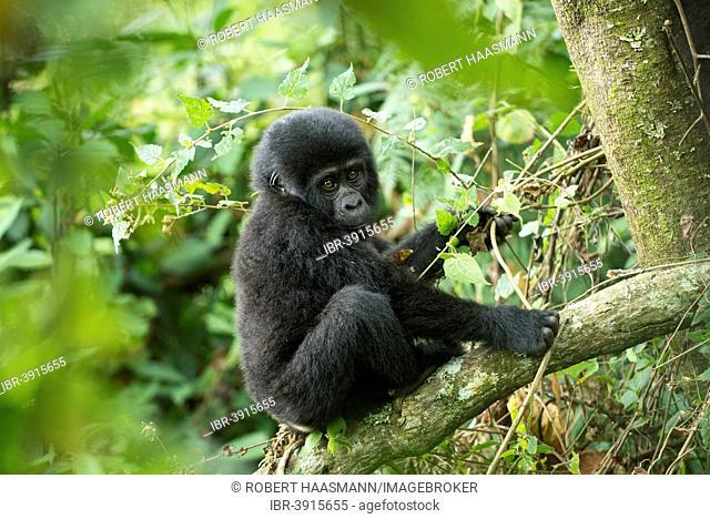 Mountain Gorilla (Gorilla beringei beringei), young animal, Bwindi Impenetrable National Park, Uganda