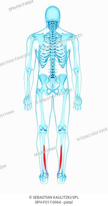 Illustration of the flexor digitorum longus muscles