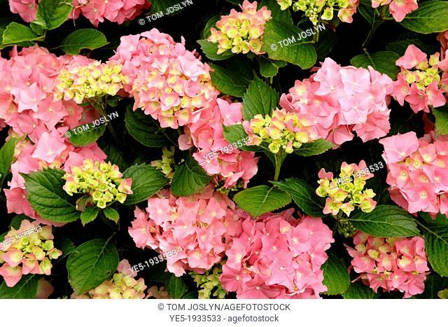 Hydrangea macrophylla in flower, England, UK