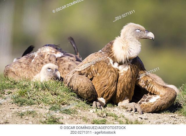 Griffon Vulture (Gyps fulvus) basking. Lleida province. Catalonia. Spain