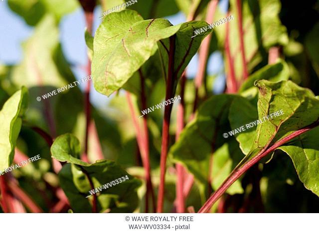 Beet leaves in organic garden, Manitoba, Canada