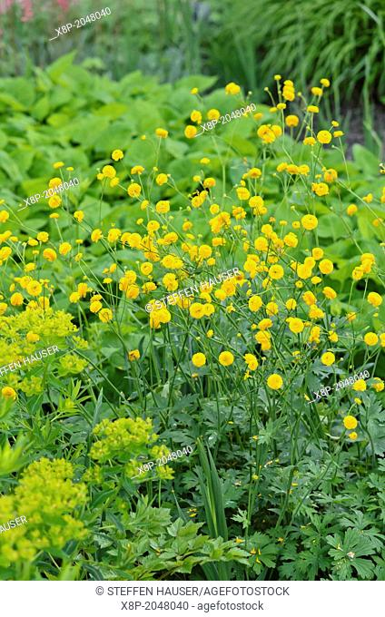 Meadow buttercup Ranunculus acris 'Multiplex'