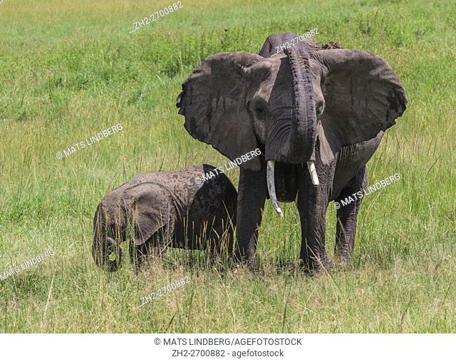 Elephant with calf on the savanna, the adult elephant has raised his trunk, Masai Mara, Kenya, Africa
