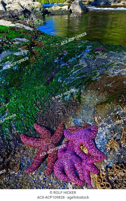 Starfish in lagoon, Great Bear Rainforest, British Columbia Coast, Canada