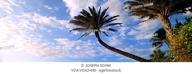 This is an outstretched palm tree under a blue sky with white puffy clouds. It is on the north shore of the island