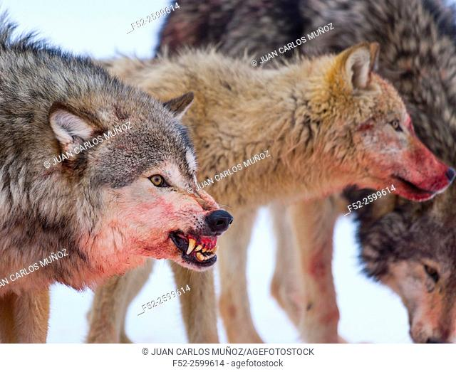 Gray wolves (Canis lupus). Colorado, Usa
