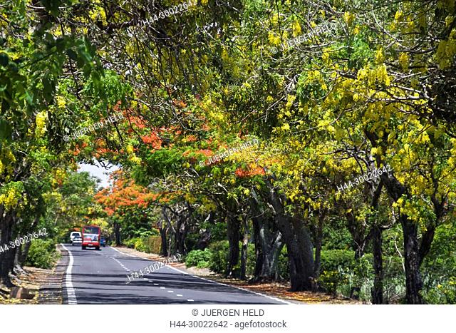 Tree Alley with Flamboyant, Royal Poinciana, and Lamburnum trees with yellow flowers, Mauritius, Africa