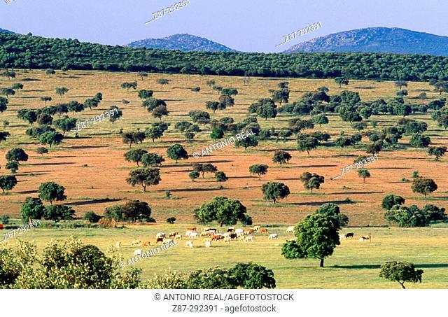 Holm oaks (Quercus ilex) in meadows near Almadén. Ciudad Real province, Spain