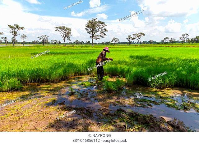 Farmers working in green rice field
