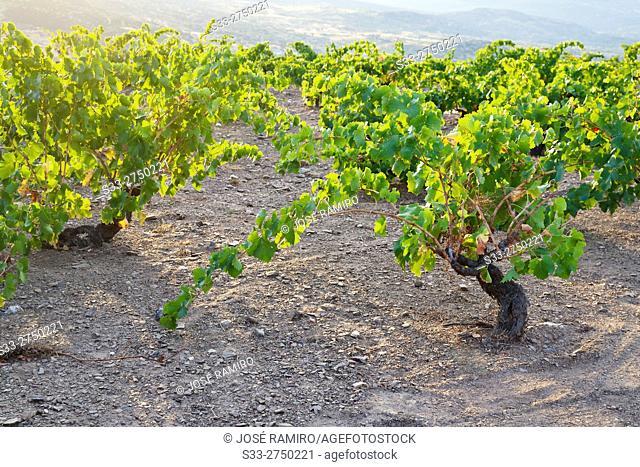 Vineyards in Cebreros. Avila. Castilla Leon. Spain. Europe
