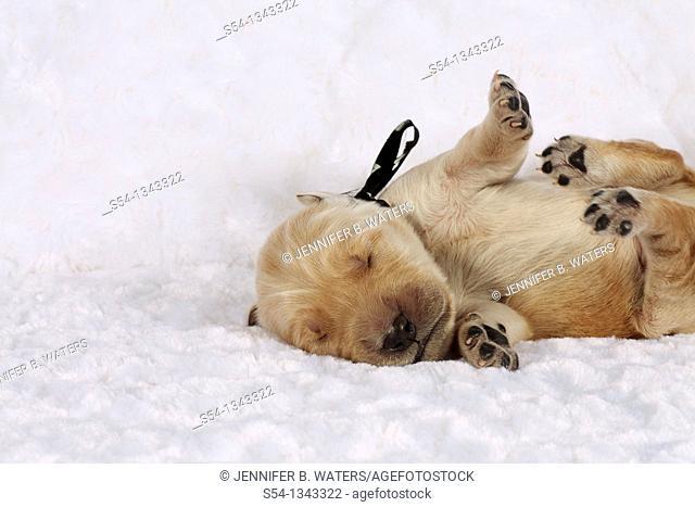 A one-week-old Golden Retriever puppy upside down