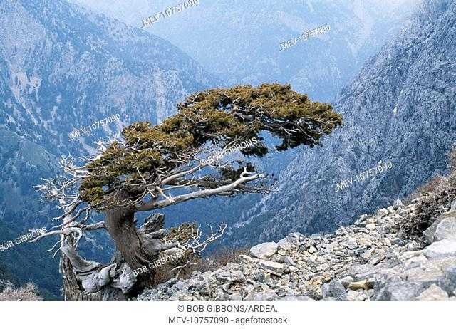 CRETE - Ancient wind sculpted tree, Italian Cypress, the White Mountains. (Cupressus sempervirens)