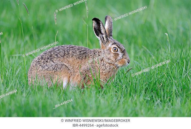 European hare (Lepus europaeus) on green meadow, The Netherlands