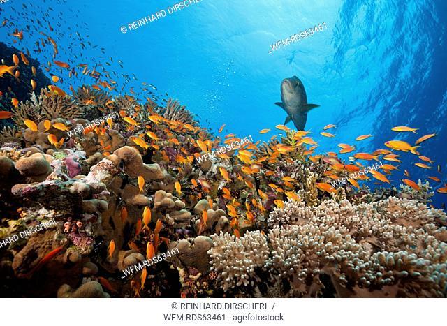 Lyretail Anthias over Reef, Pseudanthias squamipinnis, Elphinstone, Red Sea, Egypt