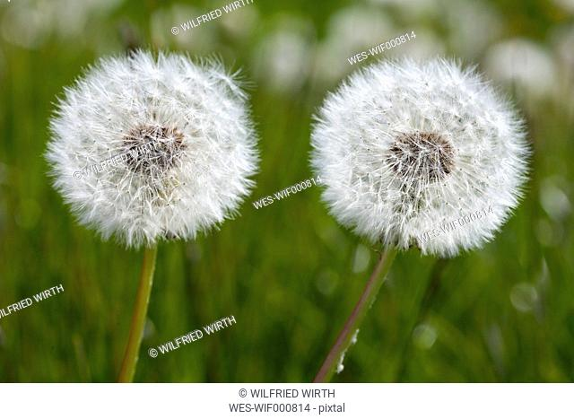 Germany, Baden-Wuerttemberg, Common dandelions, Taraxacum officinale