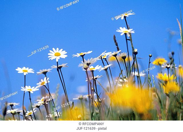 meadow with Ox-eye daisies