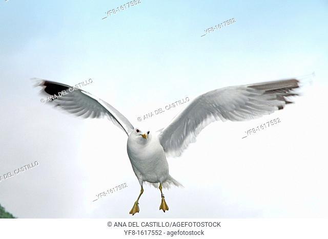Seagulls, Geirangerfjord, Region Sogn og Fjordane ,Norway