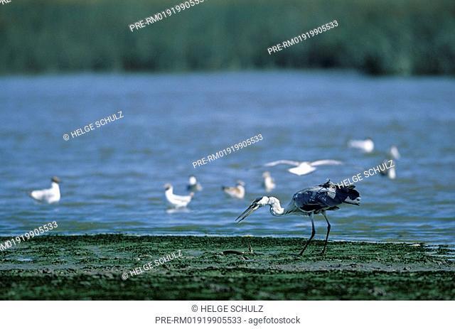 Grey Heron, capture a River Eel , Ardea cinerea & Anguilla anguilla