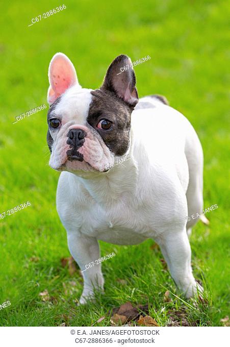 French Bulldog portrait in garden