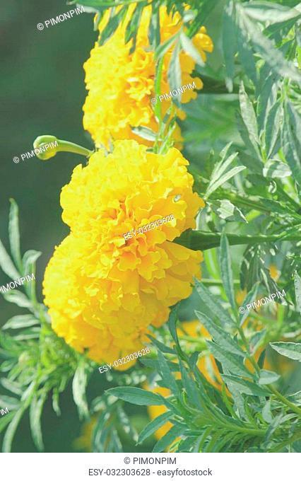 Yellow flower of Marigolds ,Tagetes erecta, Mexican marigold, Aztec marigold, African marigold) in garden, Vintage filter