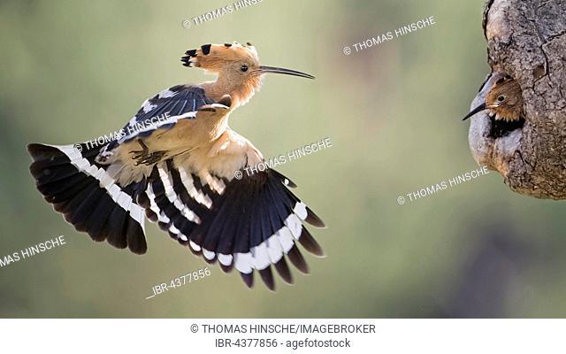 Hoopoe (Upupa epops) flying towards young bird in tree hole, feeding, Saxony-Anhalt, Germany