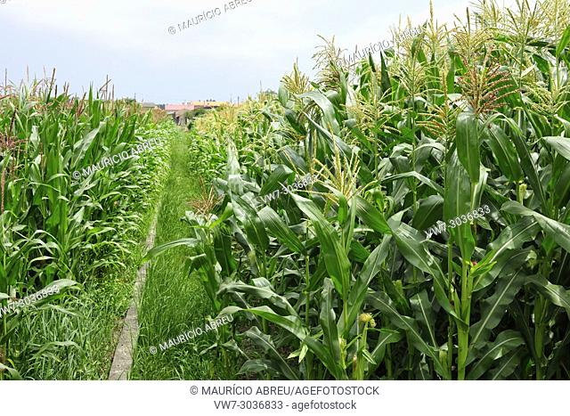 Corn fields. Beira Litoral, Portugal