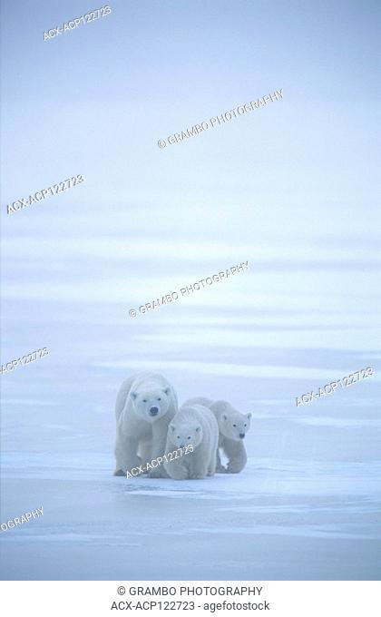 Polar bear mother and cubs, Ursus maritimus, on ice, Churchill, Manitoba, Canada