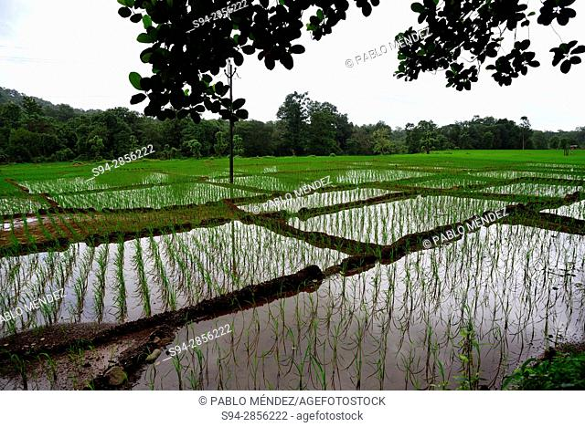 Rice fields in Cotigao sanctuary, Goa, India