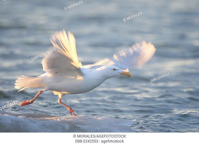 United States,Alaska,Arctic National Wildlife Refuge,Kaktovik,Glaucous Gull (Larus hyperboreus),in flight