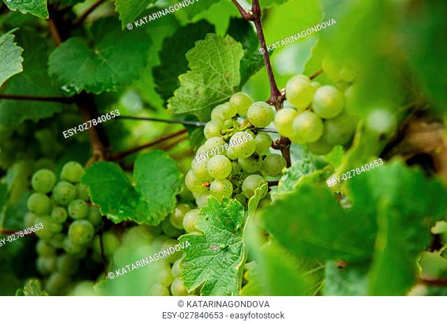 green grapes and green leaves