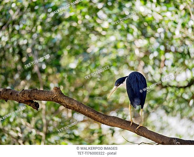 Pied heron (Ardea picata) perching on branch