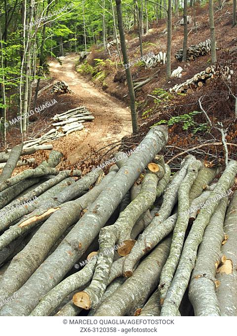 Selective logging at beech forest (Fagus sylvatica). Montseny Natural Park. Barcelona province, Catalonia, Spain