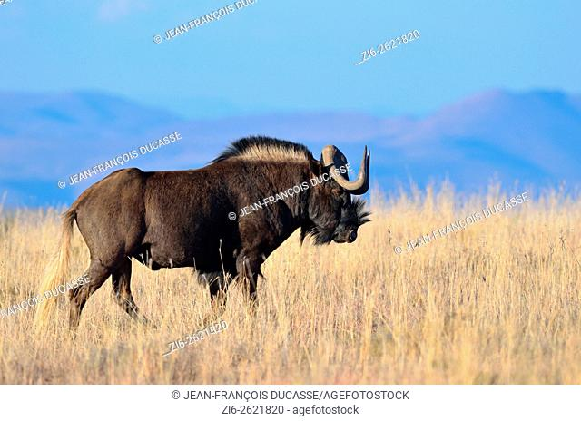 Black wildebeest or White-tailed gnu (Connochaetes gnou), adult male, walking in dry grass, Mountain Zebra National Park, Eastern Cape, South Africa, Africa