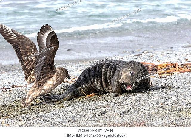 Antarctic, South Georgia Island, Prion island, Southern Elephant Seal (Mirounga leonina), new born baby, a skua is attaking the ombilical
