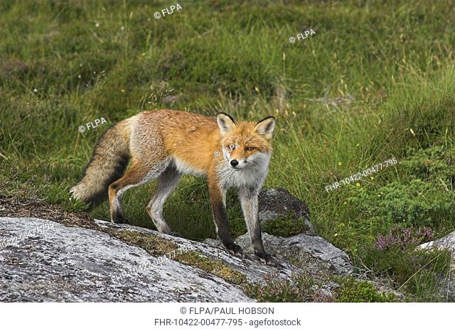 Red Fox Vulpes vulpes young adult, Norway, summer