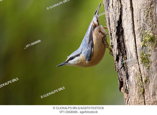 Adamello Natural Park,Lombardy,Italy. Woodpecker muretore