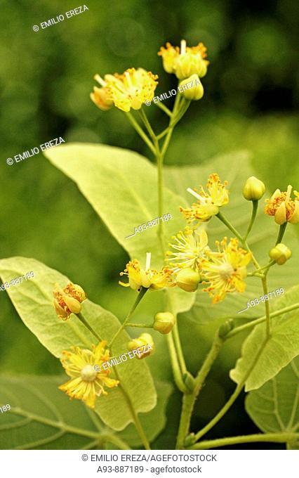 Linden tree infusion (Tilia platiphyllos or cordata)