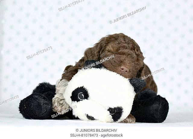 Lagotto Romagnolo. Puppy (5 weeks old) sleeping on its panda bear. Studio picture. Germany