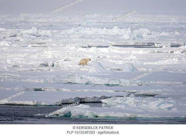 Lone polar bear (Ursus maritimus) hunting for seals on pack ice