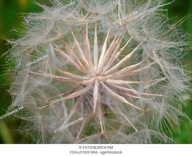 Montpelier, VT, Vermont, dandelion, seeds, weed