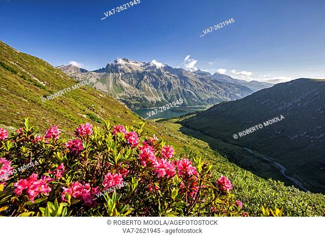 Flowering of rhododendrons in the background the blue alpine lake Fedoz Valley Canton of Graubünden Engadine Switzerland Europe