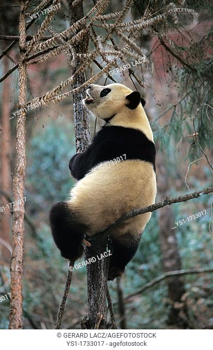 Giant Panda, ailuropoda melanoleuca, Adult standing in Tree, Wolong Reserve in China