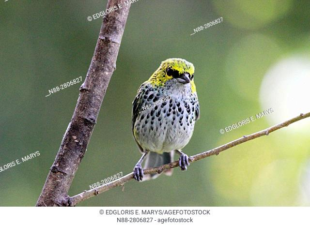 Speckled tanager, Tangara guttata, juvenile, perched in a branch in the jungle, Altos Mirandinos Venezuela