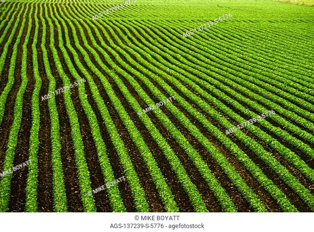 Agriculture - High angle view looking down on rows of mid growth soybean plants in a slightly rolling field / Iowa, USA