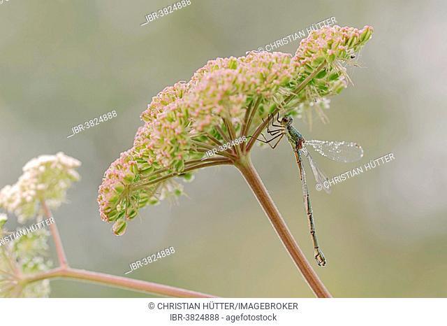 Willow Emerald Damselfly or Western Willow Spreadwing (Chalcolestes viridis, formerly Lestes viridis), female, North Rhine-Westphalia, Germany