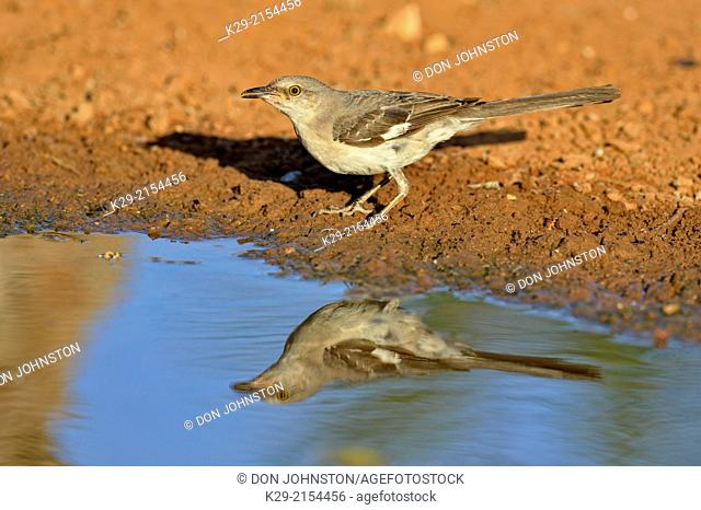 Northern Mockingbird (Mimus polyglottos), Rio Grande City, Texas, USA