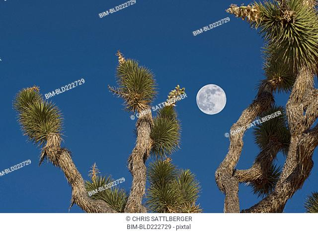 Full moon in blue sky above Joshua tree, Mojave Desert, California, United States