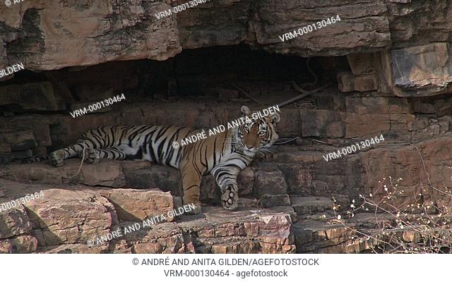 Bengal Tiger (Panthera tigris tigris) in cave