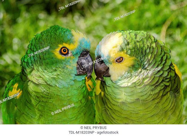 Two Blue fronted Amazon parrots, Amazona aestiva